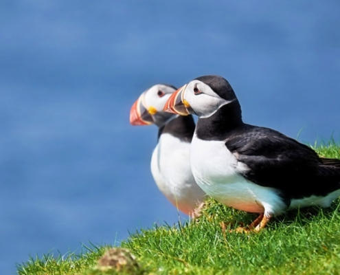Puffins all across Sutherland's NC500 coasts
